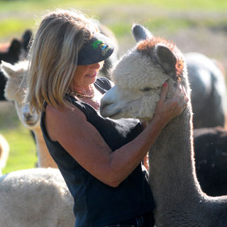 Carol-Anne Lonson, greeting one of her alpacas, owns the Canzelle Alpaca Ranch, nestled in the foothills above Carpinteria.