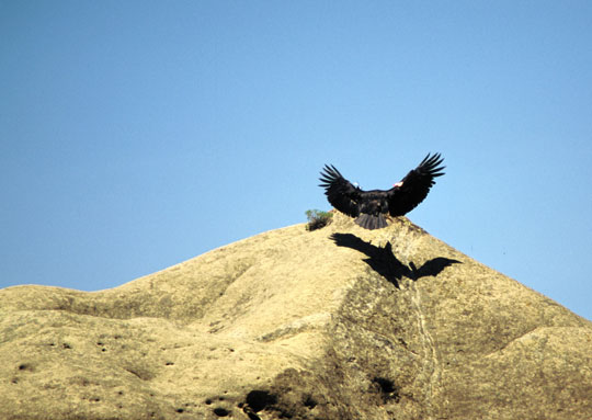 <p>A California condor &#8212; and its shadow &#8212; coast in for a landing in Pinnacles National Monument.</p>