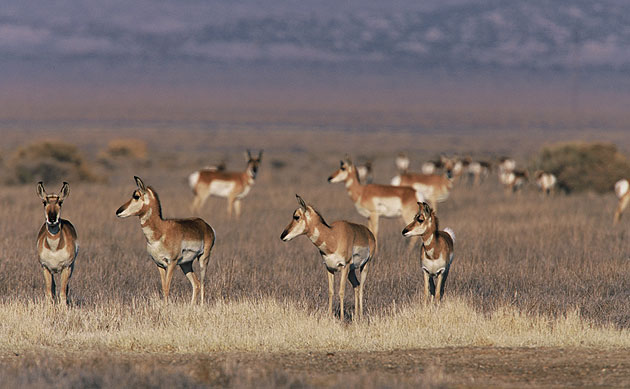 Pronghorn antelope have been successfully reintroduced at Carrizo Plain National Monument after having been hunted to near extinction in the 1800s.