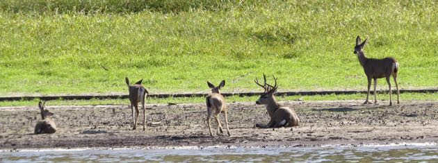 Boat rides and Eagle Cruises are popular attractions at Lake Cachuma despite the low water levels — and the deer don't seem to mind. (Linda Vanoudenhaegen photo)
