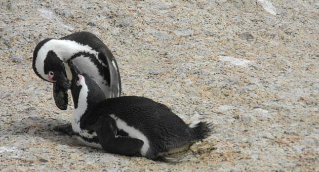<p>Penguin colonies near South Africa's Cape of Good Hope are one significant difference from Santa Barbara.</p>