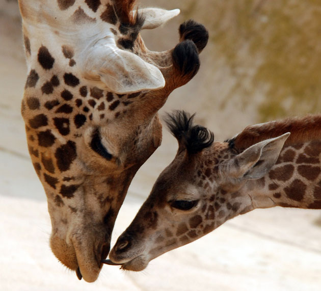 The Santa Barbara Zoo's Audrey the giraffe bends low to share a nuzzle with baby Daniel.