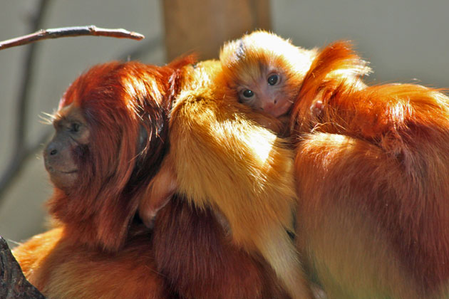 <p>A golden lion tamarin pup is feeling right at home nestled on its mom&#8217;s back at the Santa Barbara Zoo.</p>
