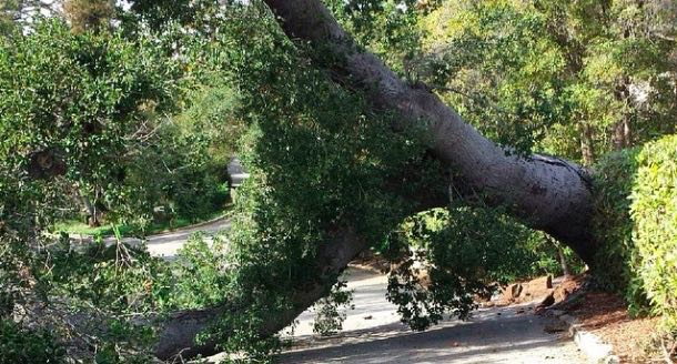 There were no injuries when this massive oak tree fell across a roadway Sunday on the campus of Westmont College in Montecito. (Tom Beveridge photo / Westmont College via Instagram)