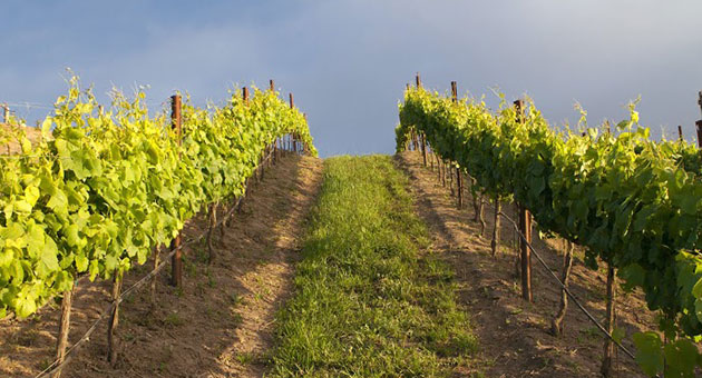 <p>An easily overlooked consequence of the lack of rain has been the sparse growth of cover crops that are planted between rows of grape vines. The absence of such crops reduces the amount of nutrients in the soil and impacts the health of vines.</p>