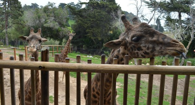 From left, giraffes Audrey, Betty Lou and Michael are among the Santa Barbara Zoo's most popular animals. The zoo is on a quest to build a separate barn for Michael so it can keep the 2,700-pound Masai giraffe away from his more physically vulnerable pen mates.