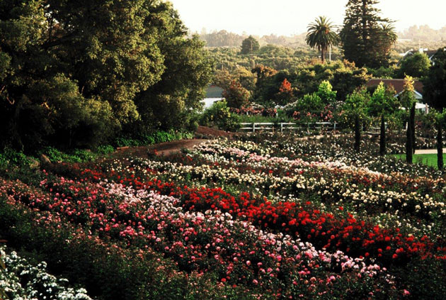 Dani and Bill Hahn's 15-acre Rose Story Farm is nestled up against the foothills in the eastern Carpinteria Valley. The Hahns grow 18,000 rose bushes from more than 120 varieties.