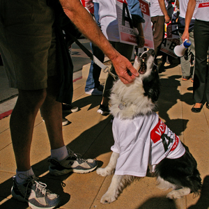 School board member Susan Deacon's dog Grace got into the action Wednesday, sporting a t-shirt supporting school parcel tax Measures A and B. (Tom Bolton / Noozhawk photo)