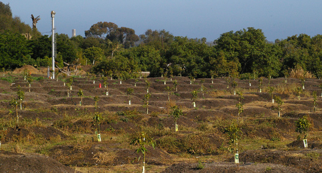 <p>Avocado trees set down roots on an agricultural parcel at Glen Annie and Cathedral Oaks roads in Goleta. The Goleta City Council voted Tuesday night to put the Goleta Heritage Farmlands Initiative, which would affect agriculturally designated parcels such as this, on the November ballot.</p>