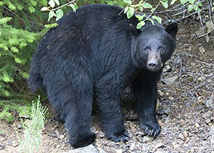 Black bears are generally more interested in fruit, food and garbage than in interacting with humans, but you can never be too careful as the bears may not be reading this.
