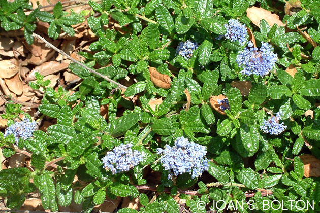 I'm counting on this spring-blooming Hearst Ranch buckthorn (Ceanothus hearstiorum) to be unappealing to our woefully up close and personal deer. (Joan S. Bolton photo)