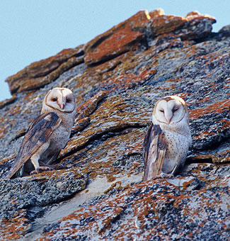 Barn owls blend into the background on a lichen-covered boulder.