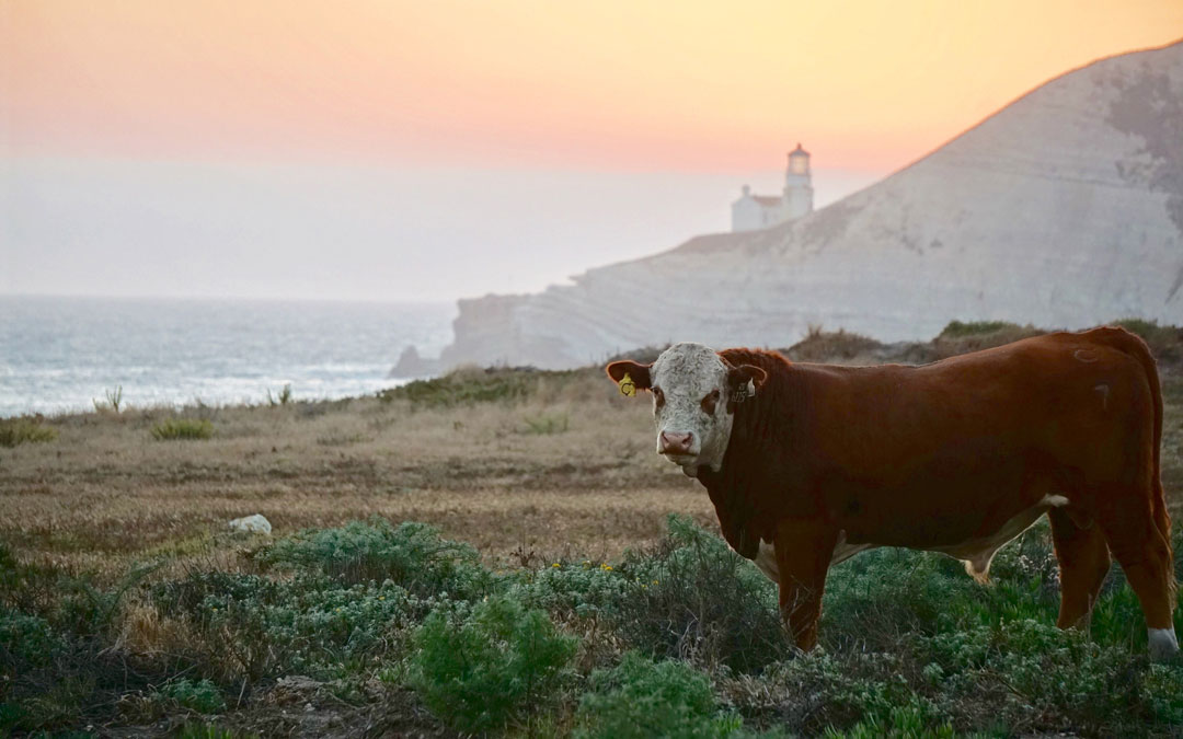 With the acquisition of the 24,000-acre Cojo/Jalama Ranch at Point Conception by The Nature Conservancy, thanks to a donation by  Jack and Laura Dangermond, the property will remain a working cattle ranch for the time being.
