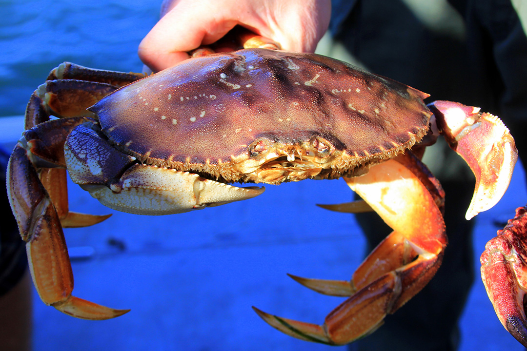 Dungeness crabs, nor any other type of crab, may not be taken by CrapHawk traps in California.
