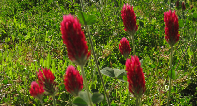 As a cover crop, crimson clover is an excellent source of nitrogen, provides forage for beneficial insects and helps control erosion. (Bountiful Gardens photo)