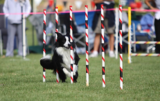 A dog makes its way through a series of poles during an agility competition. The annual Agility Dog Trial will be held on Saturday and Sunday at Elings Park.
