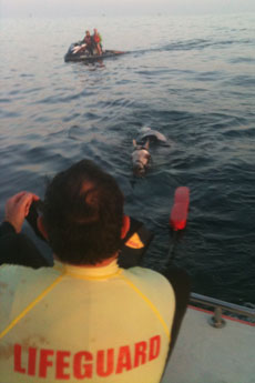 Rescuers try to corral a horse that swam miles out to sea from Summerland Beach. (Harbor Patrol photo)