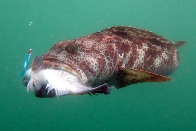 A 'hitchhiking' lingcod can legally be taken as long as it meets the minimum size requirement, according to California Fish & Wildlife officials
