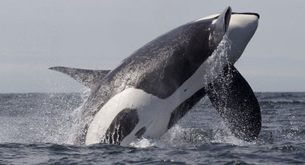 <p>Morro Bay photographer Mike Jones captured this photo of orcas killing a gray whale in Morro Bay.</p>