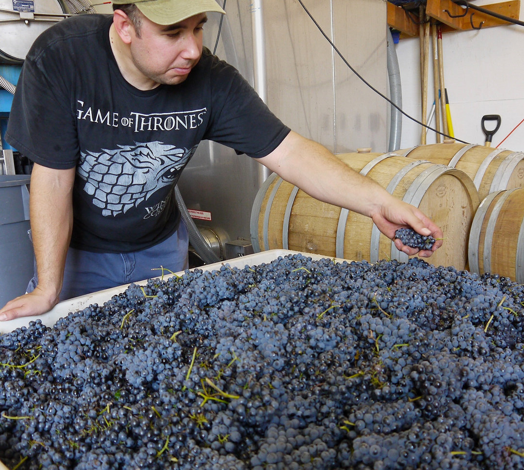 Justin Charbonneau of Temperance Cellars examines a bin of petit verdot grapes waiting to be crushed and destemmed Wednesday at Dascomb Cellars in Lompoc, where he also works as assistant winemaker.