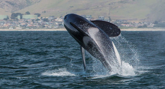 You have to admit this is a whale of a picture even if death by orca isn't a pretty sight for gray whale lovers. (Mike Baird photo)