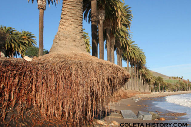 Years of erosion are threatening the stately palms that line the shoreline at Refugio State Beach. Several have succumbed to the ocean's onslaught in recent weeks.