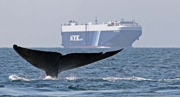 <p>A trial program encourages shipping companies to slow down to 12 knots per hour, lowering the risk of fatal whale strikes in the Santa Barbara Channel.</p>