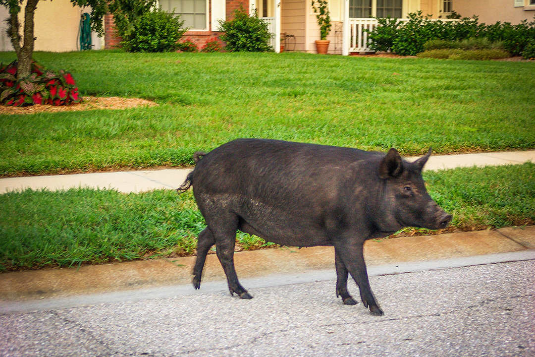 Wild pigs can cause significant damage to residential lawns and landscaping with their aggressive rooting behavior while in their quest for grubs, subterranean insects and their larvae, as well as the succulent roots of the grass they are uprooting.