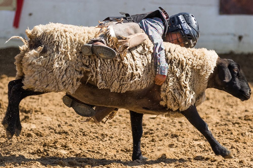 Mutton bustin' rides always look so promising coming out of the gate, but the riders usually end up heading for a fall soon after. One rider begins to lose his grip during Sunday's competition at the Old Spanish Days Fiesta Stock Horse Show & Rodeo at Earl Warren Showgrounds in Santa Barbara.