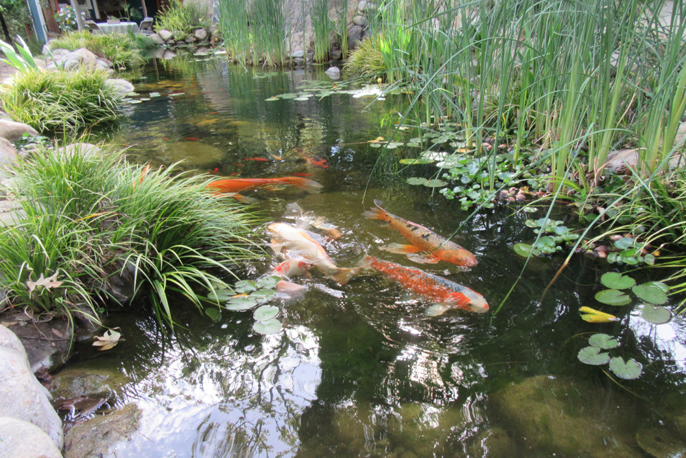 The well-stocked koi pond.