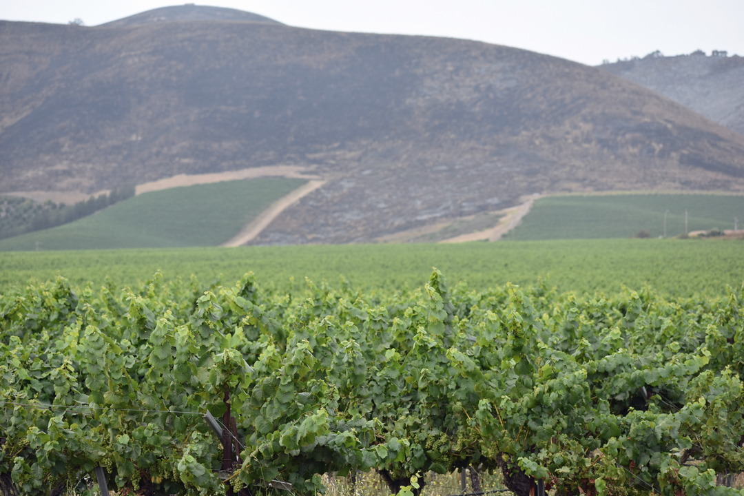 Scarred hillsides sit above vineyards in the eastern Santa Maria Valley after the Alamo Fire burned the area.