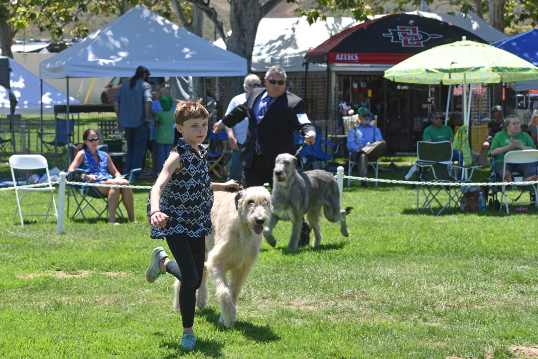 Ella Bartlett, 11, of San Francisco shows Granger, an Irish wolfhound, during the Western Sighthound Combined Specialties show on Thursday in Ryon Park. Two days of special shows will be followed by two days of all-breed dog shows at the park.