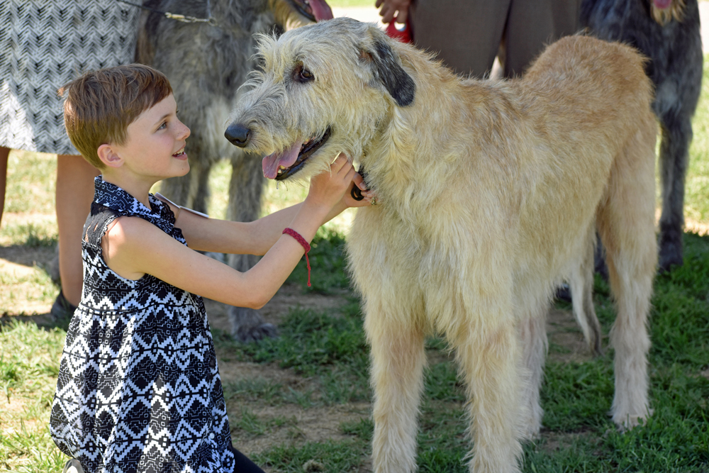Ella Bartlett shares a moment with Granger, an Irish wolfhound, after a stint in the ring at the Western Sighthound Combined Specialties show on Thursday in Ryon Park. Two days of special shows will be followed by two days of all-breed dog shows at the park.