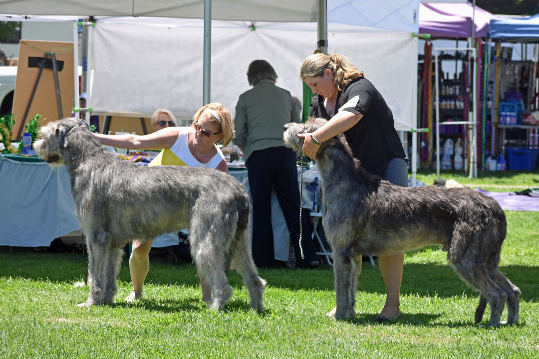 Competitors prep their Irish wolfhounds Thursday afternoon at Lompoc's Ryon Park for the Western Sighthounds Combined Specialties show.