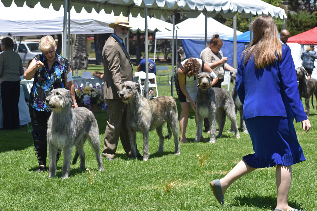 Judge Eileen Flanagan from New Jersey checks out Irish wolfhounds on Thursday at Lompoc's Ryon Park, where four days of dogs shows are planned through Sunday.