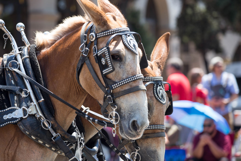 Scores of horses particpated in Friday's Old Spanish Days historical parade.