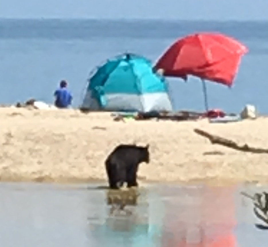 Beach-goers at Rincon Point apparently were unfazed by the presence of a black bear that showed up Saturday afternoon.