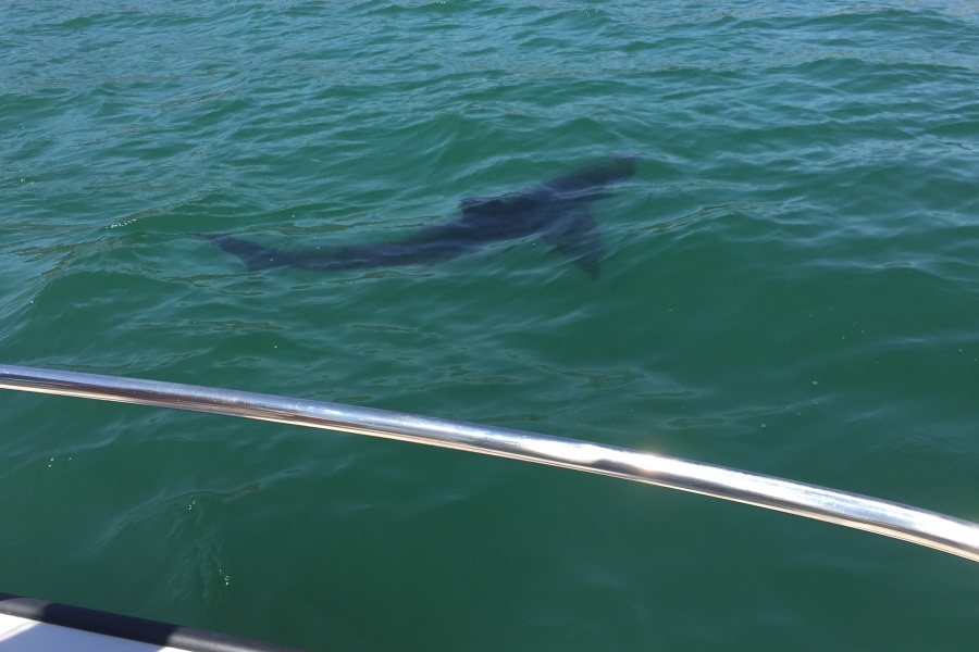 Sharks spotted in the ocean off Padaro Lane were unfazed by onlookers drifting by in a boat.