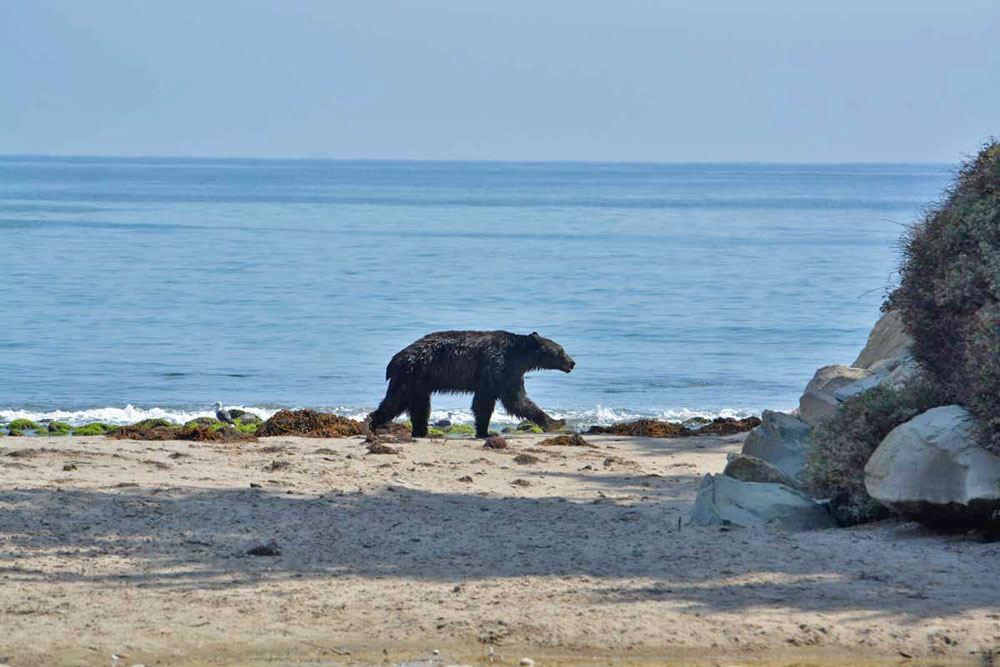 A black bear strolls down the shoreline at Rincon Point on Saturday.