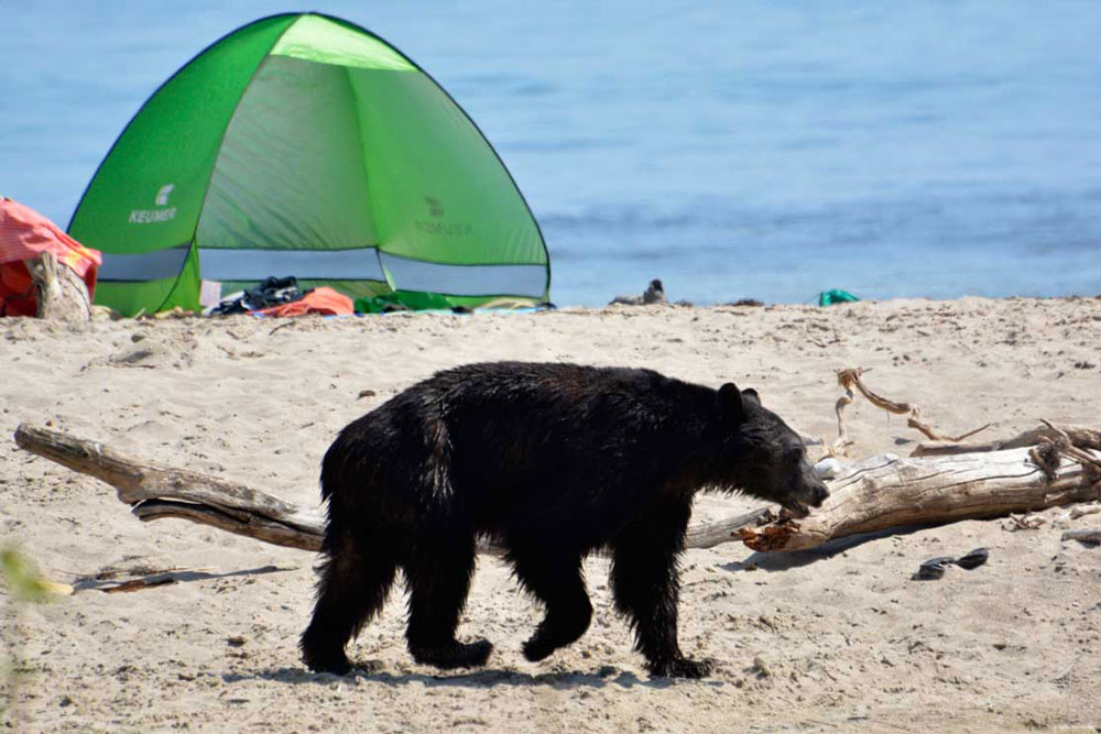 A black bear wandered into the Rincon Point neighborhood near Carpinteria on Saturday afternoon, casually ambling about like almost any other beachgoer.