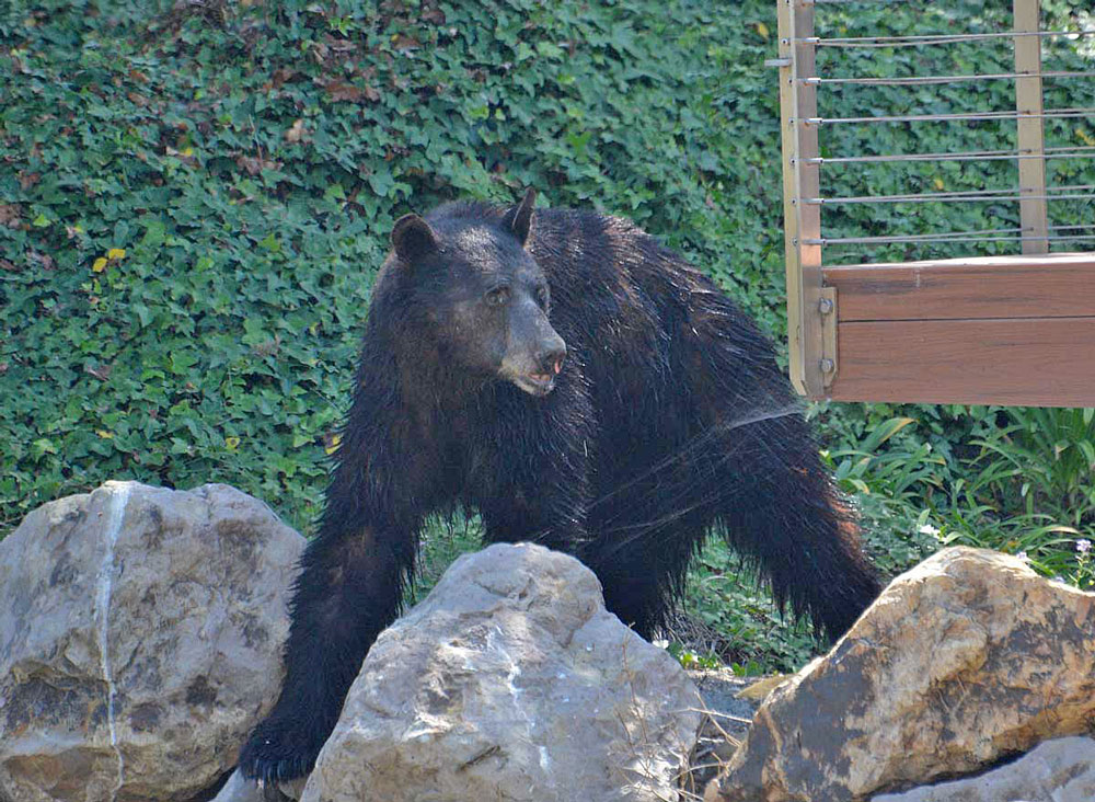 A black bear wandered wandered down Rincon Creek into the Rincon Point neighborhood near Carpinteria on Saturday afternoon, eventually strolling down the beach.